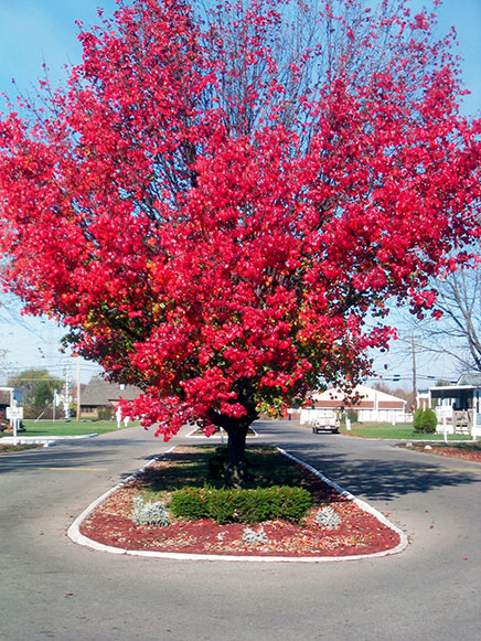 A beautiful tree engulfed with pinkish-red flowers, grows tall in the median at entrance.