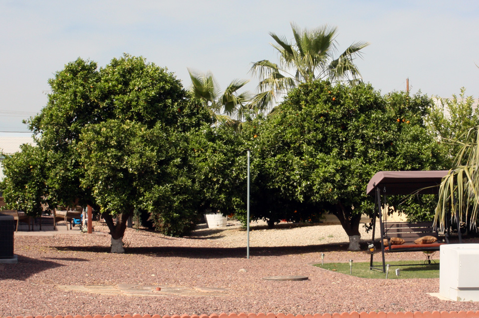 Orange trees can be seen as part of the landscape at Cimarron Trails.