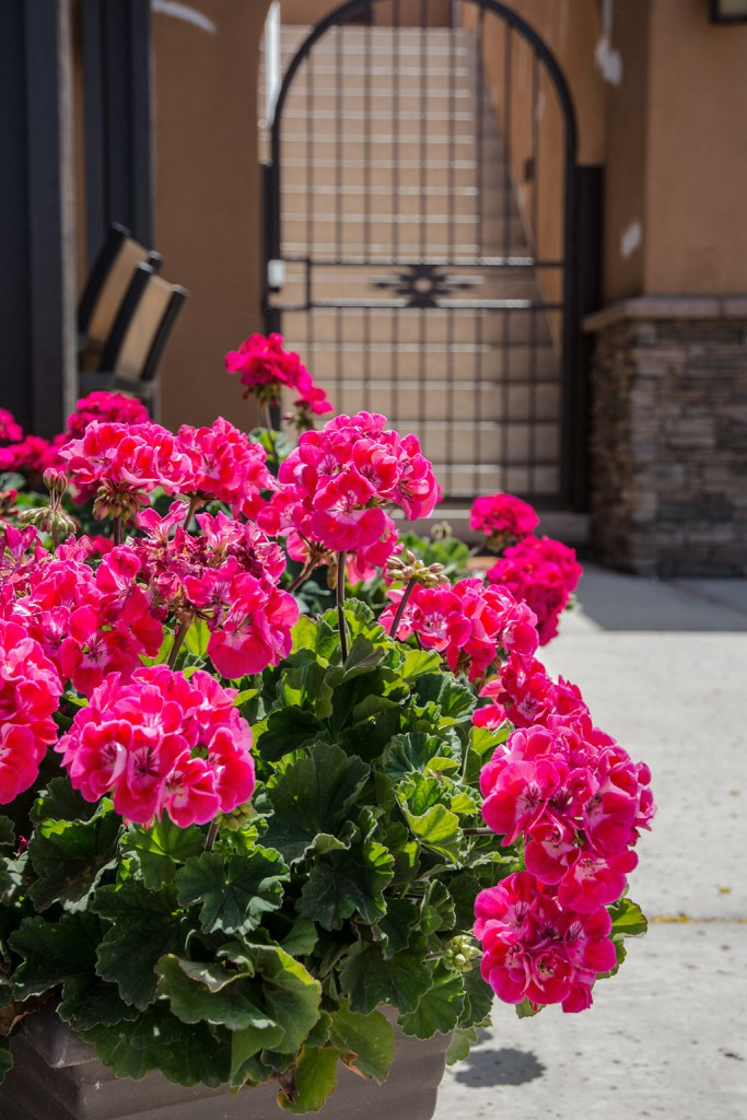 Beautiful bright pink potted flowers with a black gate entrance to staircase in the background.